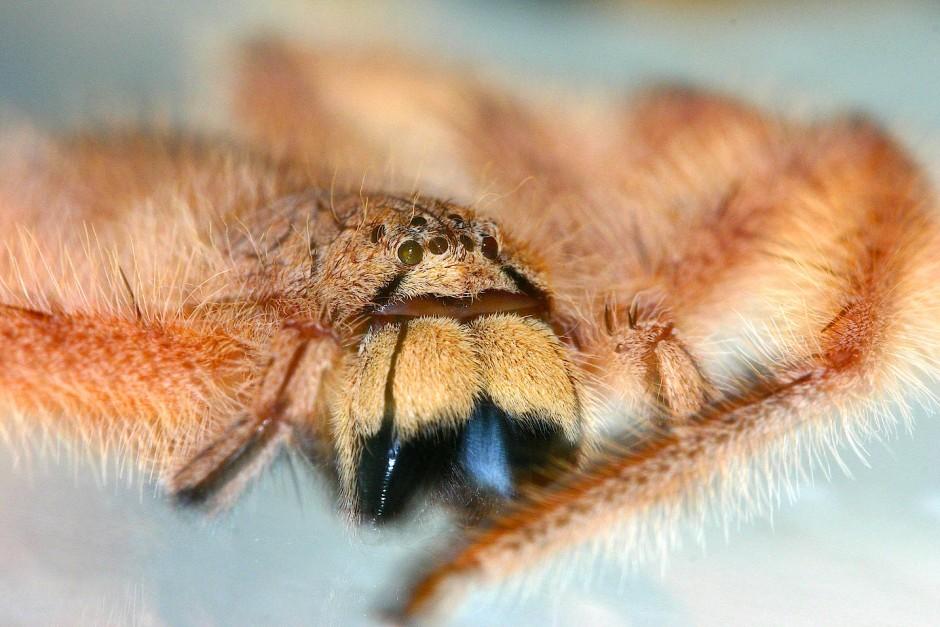 David Bowie stand Pate: Heteropoda davidbowiei ist die Vertreterin einer Spinnengattung, deren Gefährdung durch die Namensgebung weltweit bekannt wurde.