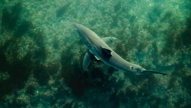 """""""Viele meiner Aufnahmen zeigen Weiße Haie unter Surfbrettern"""""""