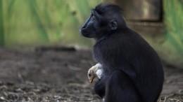 Affe adoptiert Huhn
