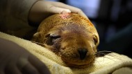 Die Rettungsorganisationen kommen beim Bergen der Seehunde kaum hinterher. Tiere und Menschen sind erschöpft.