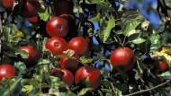 Gestern grün und heute rot: Wie kommt die Farbe in den Apfel?