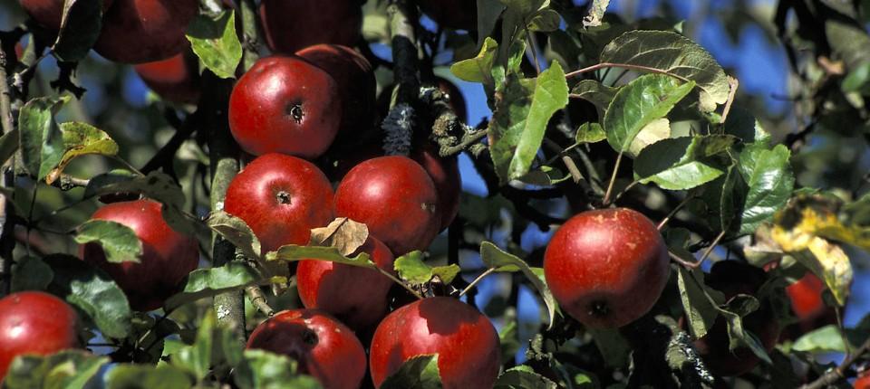 Was passiert, wenn Obst reif wird