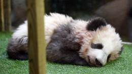 "Brigitte Macron ist Patin von Panda ""Yuan Meng"""