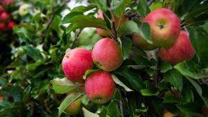 Kelterer: Für uns zählt jetzt jeder Apfel