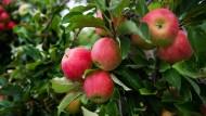 Rarität: An vielen Bäumen hängen in diesem Jahr deutlich weniger Äpfel als gewohnt.
