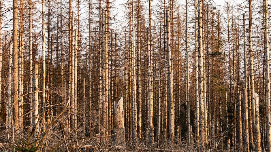Da war jemand fleißig: Abgestorbene Fichten im Harz