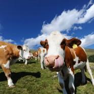 Kühe auf einer Alm in Österreich