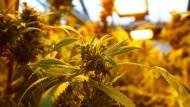 Cannabis für deutschen Pharmakonzern