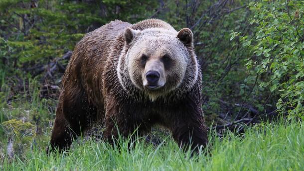 Bergziege tötet Grizzlybärin in Rocky Mountains