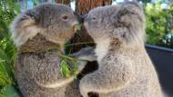 In vielen Regionen Australiens ausgestorben