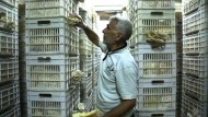 Syrer züchten Pilze als Fleischersatz