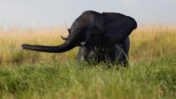 Botswana erlaubt Elefantenjagd