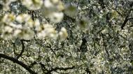 Blütenpracht: Frauenstein, Walluf und Schierstein sind ein Zentrum des Obstanbaus im Rhein-Main-Gebiet.