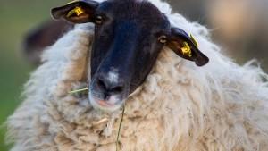 Eltern schreiben 15 Schafe an Grundschule ein