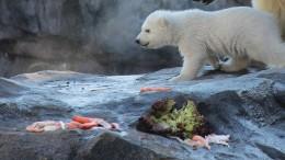 Eisbär-Baby tapst im Wiener Zoo herum