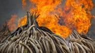 105 Tonnen Stoßzähne gehen in Flammen auf