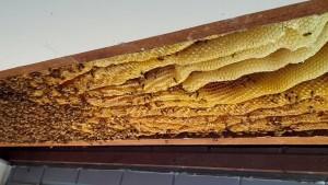 60.000 Bienen zuhause unter dem Dach