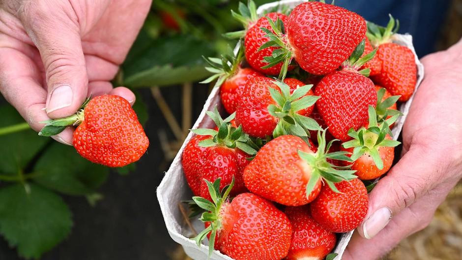 Die hessische Erdbeersaison ist vor ein paar Tagen gestartet.