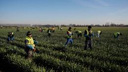 """Briten droht """"Brexodus"""" der Saisonarbeiter"""