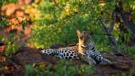 Der Leopard macht sich rar