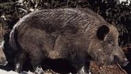 Im Winterfell: Wildschweinbache mit zweijährigem Frischling, einem sogenannten Überläufer