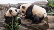 Flauschig und verspielt: Die Panda-Zwillinge Meng Xiang (l, Pit) und Meng Yuan (Paule) werden erstmals zu einem Ausflug in ihr Gehege gelassen.