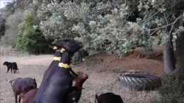 Ziegen und Schafe fressen gegen Waldbrände an