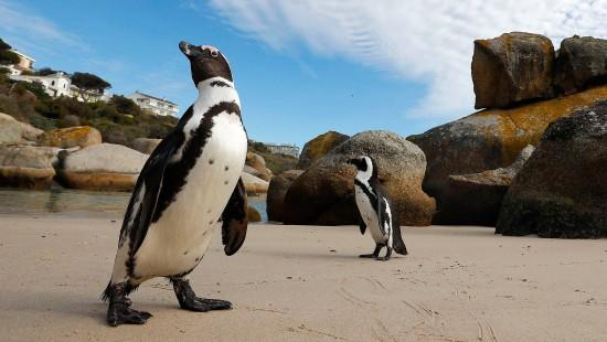 Pinguine in Südafrika durch Touristen bedroht