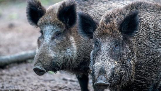Schweinepest in Belgien schlägt Alarm