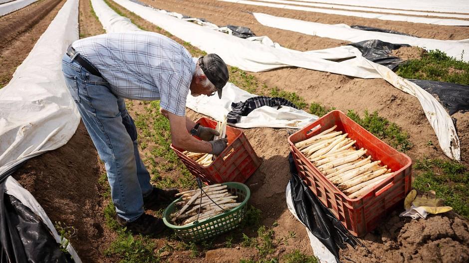Ein Rentner arbeitet als Erntehelfer