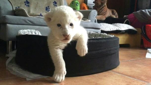 Zwei weiße Löwen-Babys