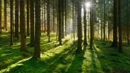 Wie von Caspar David Friedrich gemalt und deshalb tief in unserem Bildgedächtnis verwurzelt: Fichtenwald im warmen Licht der Morgensonne