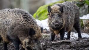 Brandenburger wollen Wildschweine mit Pfeil und Bogen jagen