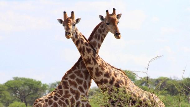 Gute Aussichten für Giraffen