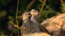 Warum auch monogame Vögel balzen