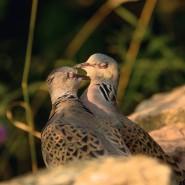 Die Turteltaube ist Vogel des Jahres 2020.