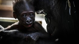 Affenbaby im Kuschelmodus