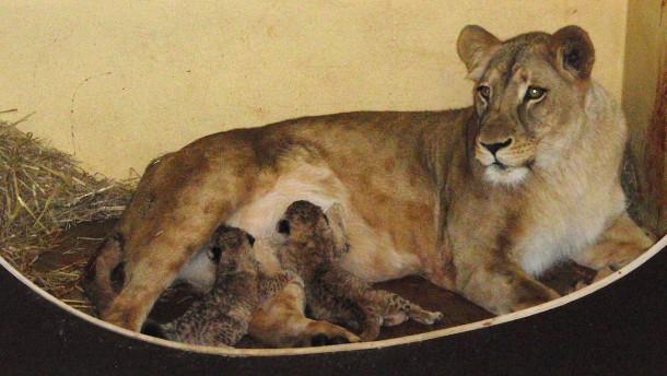 Erstmals Löwenbabys im Zoopark Erfurt geboren