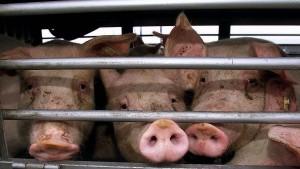 Zwei Bundesländer fordern Datenbank zu Tiertransporten