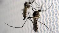 Ägyptische Tigermücken in einem Labor im brasilianischen Campinas