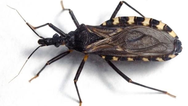 Chagas-Wanzen auch in Europa?