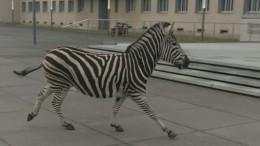 In Dresden steppt das Zebra
