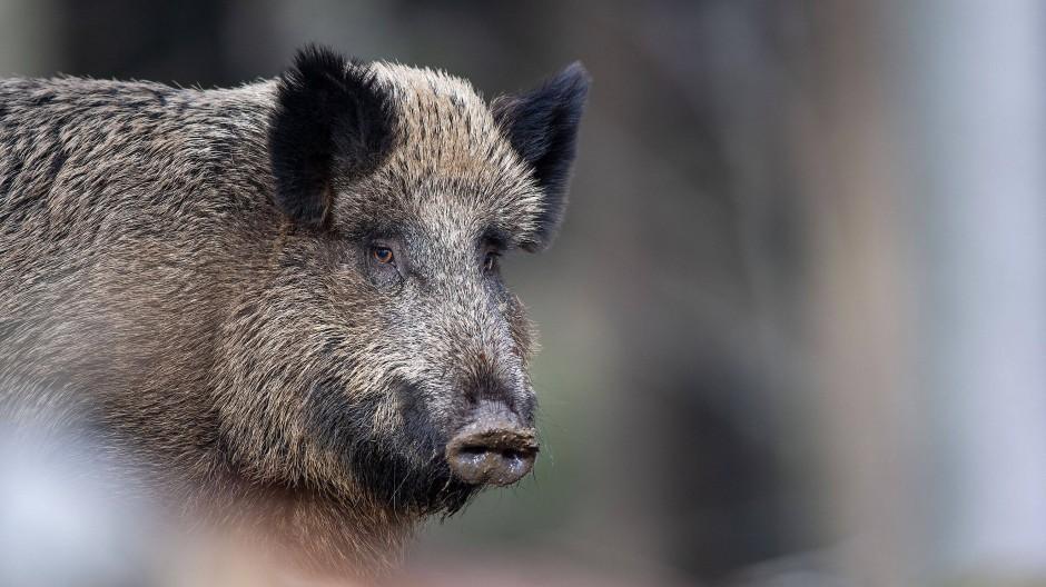 Wildschwein: Unter den Tieren grassiert die Seuche.