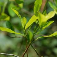 Kokain wird in einem komplizierten Verfahren aus den Blättern einer kleinen grünen Pflanze gewonnen, die im Amazonasgebiet wächst – dem Kokastrauch.