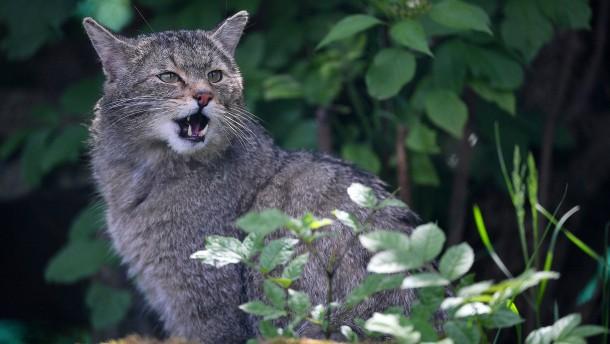 Wildkatzen-Mutter verteidigt Junge gegen Wolf