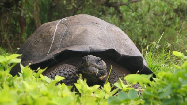 Sexuell aktive Riesenschildkröte rettet Spezies vor Aussterben
