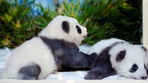 Panda-Zwillinge bekommen traumhafte Namen