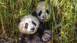 Sonnenschutz für Berliner Panda-Nachwuchs
