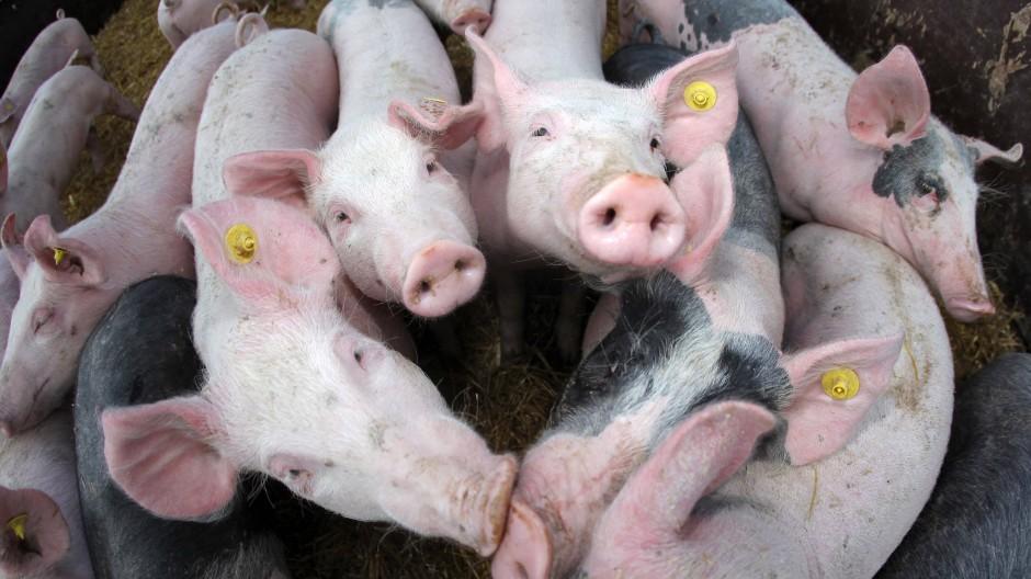 Sie aufzuziehen kostet viel Geld, ihr Fleisch bringt aber wenig ein: Junge Schweine im hessischen Wehrheim.