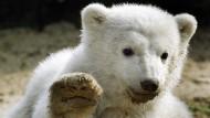 Knuddelig und lukrativ: Eisbär Knut vor seinem Tod im Berliner Zoo